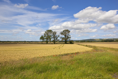 three ash trees near a golden wheat field and farm track with scenic hills under a summer blue sky in the yorkshire wolds Reklamní fotografie