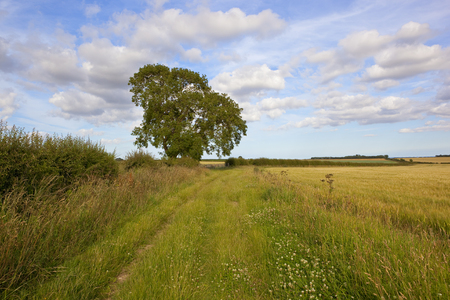 a section of the minster way bridleway and footpath with an oak tree and hawthorn hedgerow under a blue sky with white cloud in the yorkshire wolds in summer Standard-Bild