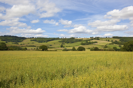 a green oat field with a scenic summer backdrop with woodland and meadows under a blue sky with white cloud in the yorkshire wolds