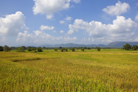 ripening rice crops at wasgamuwa national park in sri lanka with woodland and mountain scenery under a blue sky with white fluffy clouds Reklamní fotografie