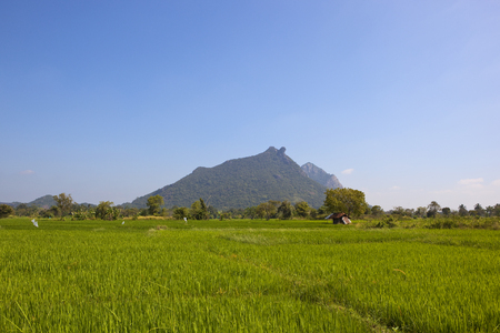 scenic sri lankan rice paddy fields with trees and wooded mountains under a blue sky