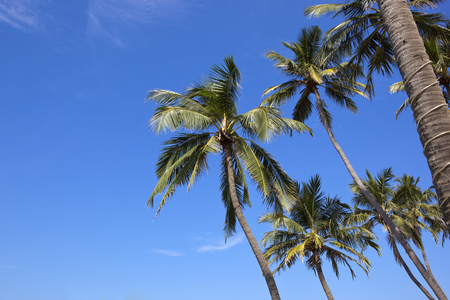 tropical coconut palm trees on a blue sky background