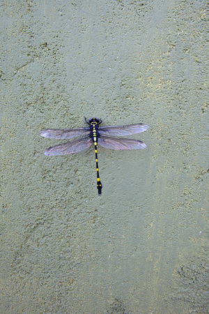 a beautiful sri lanka dragonfly rapacious flangetail dragonfly ictinogomphus rapax resting on a wall in the sunshine