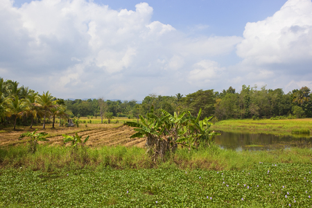 Sri Lanka agricultural landscape with rice crops banana trees and water hyacinth near woodland under a blue sky with fluffy white clouds
