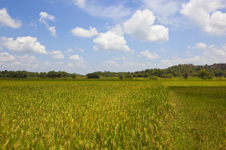 ripening sri lankan rice crops with woodland in wasgamuwa national park under a blue sky with fluffy white clouds Reklamní fotografie