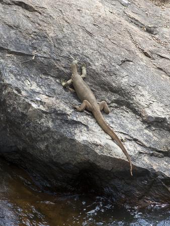 a sri lankan monitor lizard resting on a rock by water