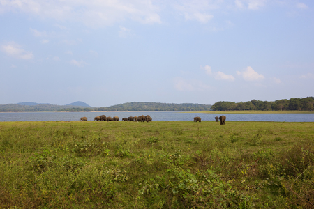 sri lankan wild elephants at minnerya national park by a lake surrounded by hills woodland and open grassy space under a blue sky with fluffy white clouds