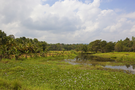 exotic forest near rice paddies and lake with lotus and water hyacinth in the sri lankan national park of wasgamuwa