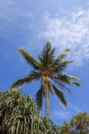 a mature sri lankan coconut tree at mount lavinia colombo with exotic shrubs under a blue sky with wispy white cloud Reklamní fotografie