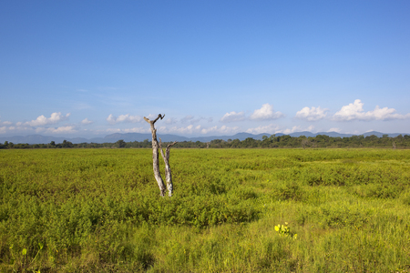 dead tree with exotic vegetation near woodland and mountains in wasgamuwa national park under a blue sky in sri lanka