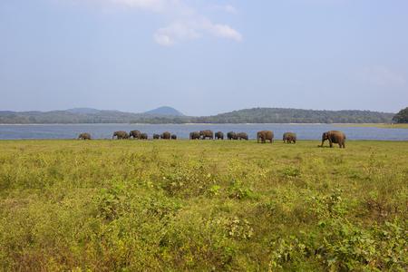 sri lankan wild elephants at minnerya national park near a lake under a blue sky