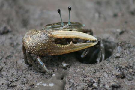 fiddler: Close Up Fiddler Crab