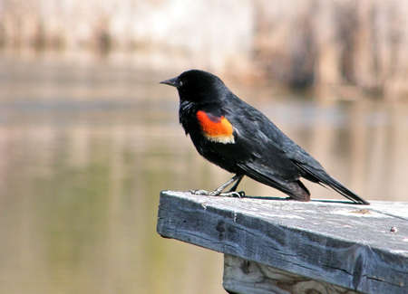 oakbank: Red-winged Blackbird at Oakbank Pond in Thornhill,Canada