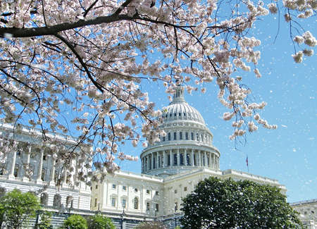 Rain of Cherry Blossoms near Capitol, in Washington DC, USA Stock Photo