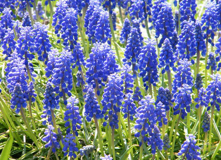 Blue Liriope muscari in garden in Washington DC, USA