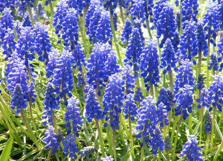 Blue Liriope muscari in garden in Washington DC, USA