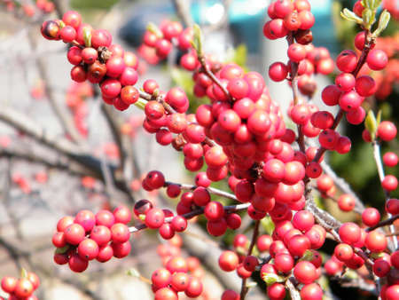 Winterberry Ilex verticillata in Washington DC, USA Stock Photo