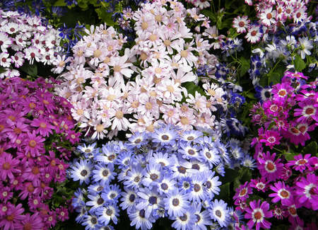 Multicolored Carpet of Daisies in garden in Washington DC, USA photo