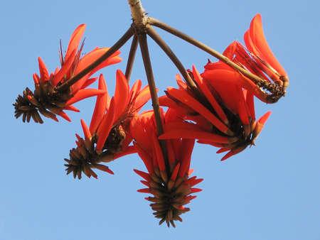 Coral Tree Flowers in Neve Savyon, Or Yehuda, Israel 版權商用圖片