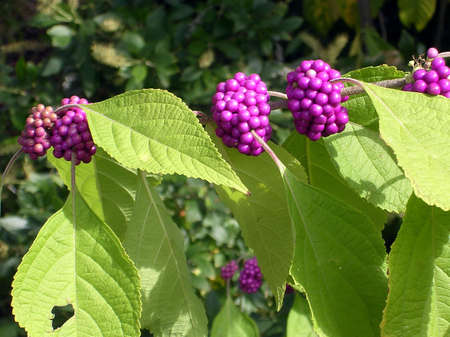 Callicarpa Bodinieri in garden in Washington DC, USA           Stock Photo