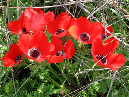 Carpet of Red Crown Anemone in winter in Shoham, Israel Stock Photo