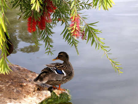 Duck on the banks of the pond of Ramat Gan Park, Israel Stock Photo