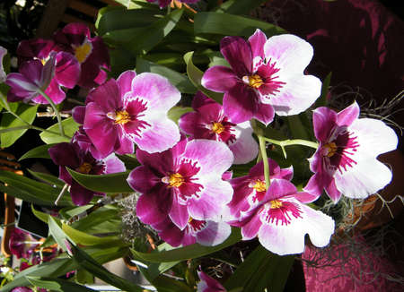 Miltonia Kathy Orchid in garden in Washington DC, USA