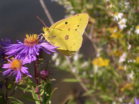 Yellow butterfly on a purple flower in High Park in Toronto, Canada           photo