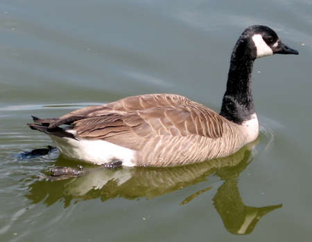 oakbank: Geese on Oakbank Pond in Thornhill Ontario, Canada Stock Photo