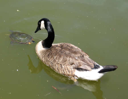 Geese and Turtle on Oakbank Pond in Thornhill Ontario, Canada Stock Photo - 7363293
