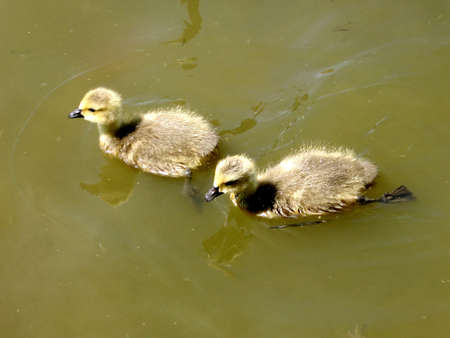Goslings on Oakbank Pond in Thornhill Onta, Canada Stock Photo - 7363295