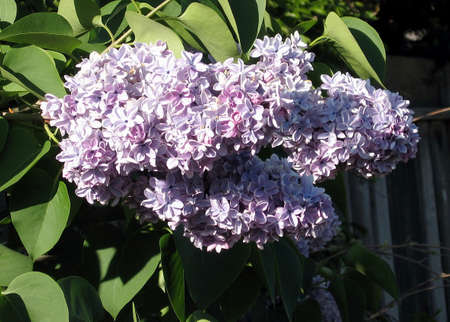 Blossoming lilac Branch in spring in Thornhill Ontario, Canada Stock Photo - 7363320