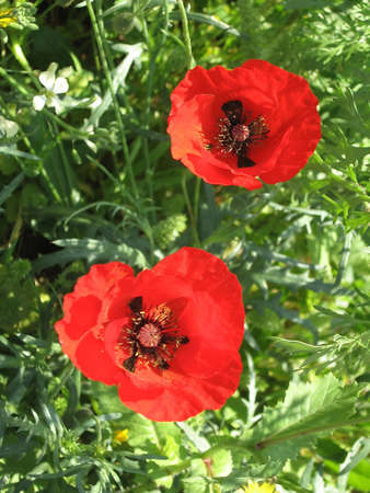 Two Beautiful Red Poppies in park in Ramat Gan, Israel Banco de Imagens - 7363305