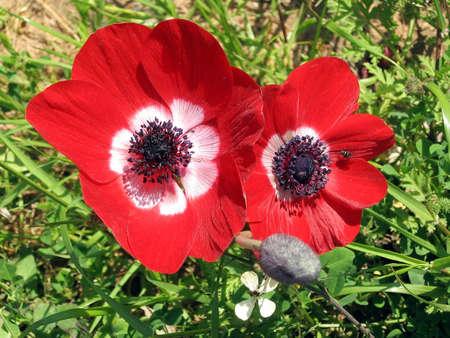 Two Beautiful Red Crown Anemones in park in Ramat Gan, Israel