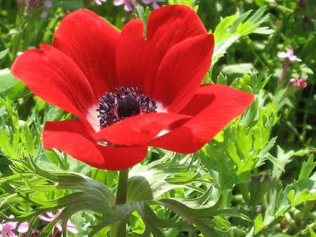 Beautiful Red Crown Anemone in park in Ramat Gan, Israel