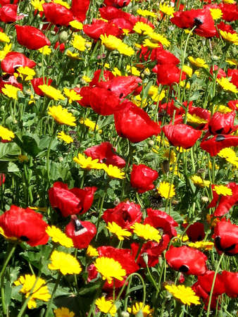 Carpet of Red and Yellow Wild Flowers in park in Ramat Gan, Israel Stock Photo