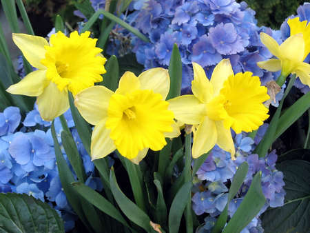Yellow Narcissus on a background of blue flowers Toronto, Canada Stock Photo - 7363306