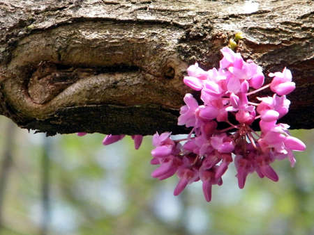 redbud tree: Pink Redbud Tree Blossoms in Tysons Corner near Washington DC, USA Stock Photo