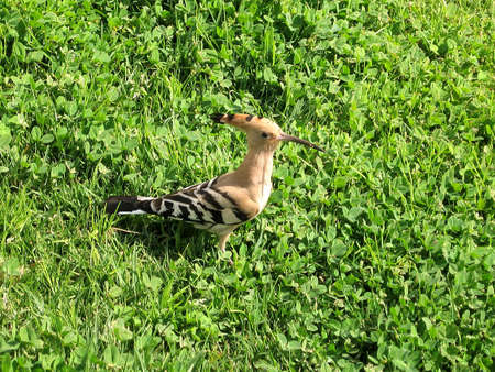 Hoopoe on a grass in park Canada in Or Yehuda, Israel Imagens