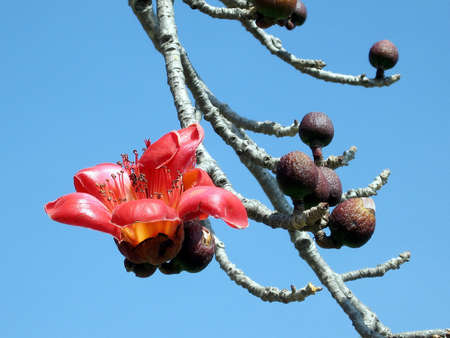 Big flower of Bombax ceiba tree in Begin Park in Tel Aviv, Israel