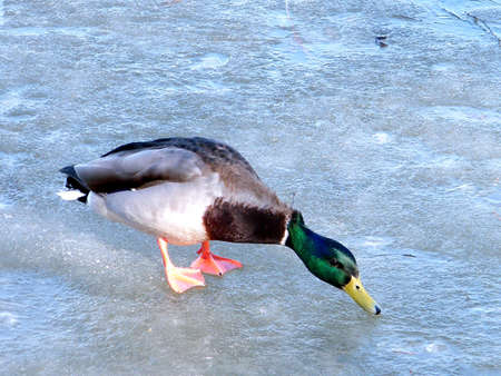 oakbank: Drake on ice of Oakbank Pond in Thornhill, Canada