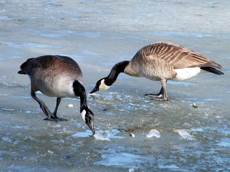 Two Canadian geese on ice of Oakbank Pond in Thornhill, Canada photo