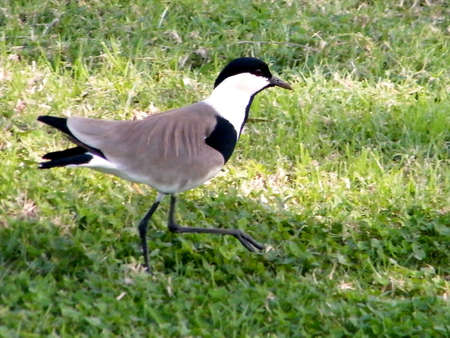 lapwing: Lapwing isolated in Ramat Gan Park, Israel