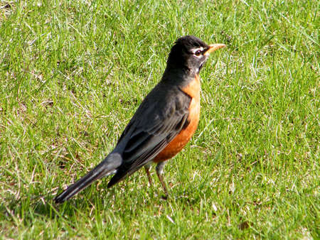 thornhill: American Robin on a green background in Thornhill Ontario, Canada