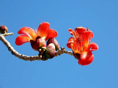 comenzar: Flores y capullos de Bombax ceiba �rbol en el Parque de inicio en Tel Aviv, Israel