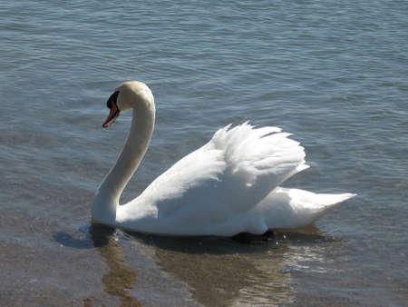 Beautiful White Swan floating on the lake Ontario in Toronto, Canada photo