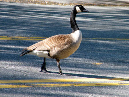 Ringed Canadian goose crossing a street in Tysons Corner near Washington DC, USA Stock Photo - 7613097
