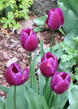 high park: Tulipani viola in primavera nel parco alto a Toronto, Canada