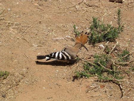 Hoopoe on a sand in Or Yehuda, Israel