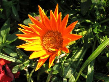 Bright orange Gazania in park in Ramat Gan, Israel